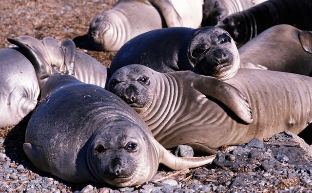 earless_seal_1